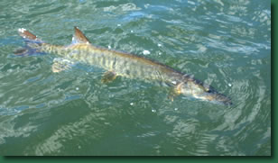 A successful catch and release of a nice-sized muskie.